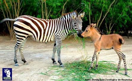 zebrasno-600