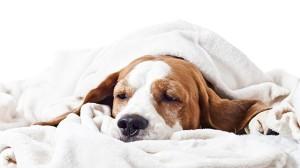 cachorro-leucemia