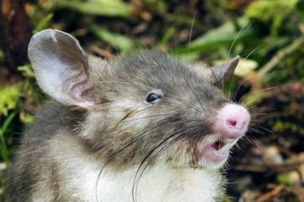 hyorhinomys-stuempkei