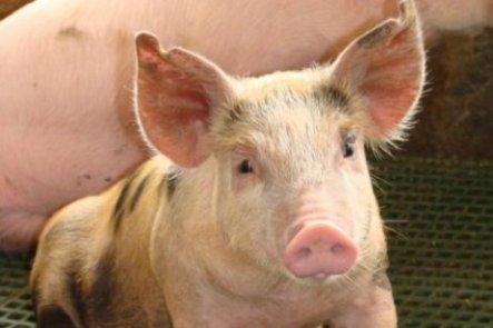 porc23