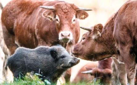 porco-do-mato