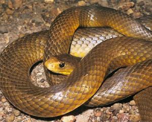 A-cobra-mais-venenosa-do-mundo-é-a-Cobra-de-Barriga-Amarela-ou-também-chamada-de-Taipan-do-interior-Oxyuranus-microlepidotu-comumente-encontrada-na-...-300x240