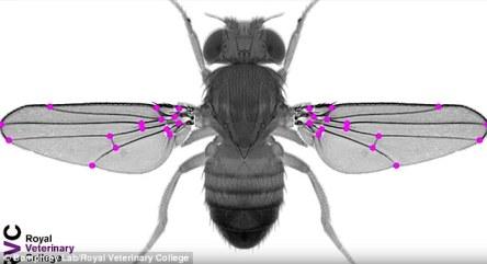 mosca-geneticamente-modificada