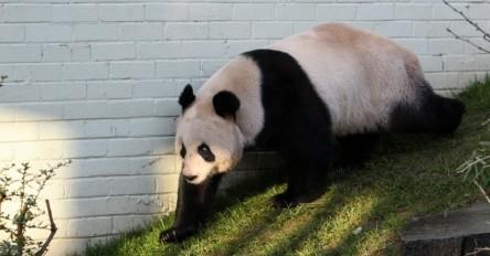 panda_SAPO3